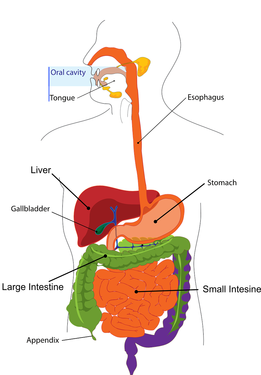 liver daigram